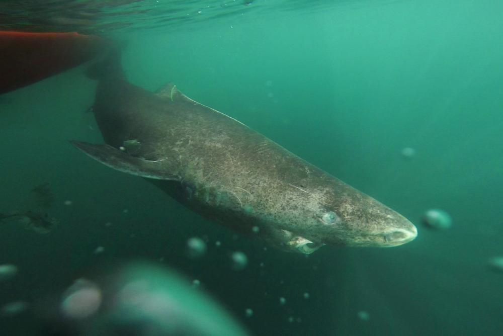 A tagged Greenland shark swims through the icy waters of the North Atlantic. ? J. Nielsen.