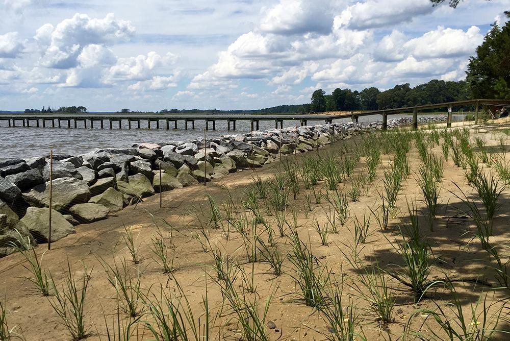 VIMS program at Werowocomoco site along York River helping to protect shoreline from erosion.