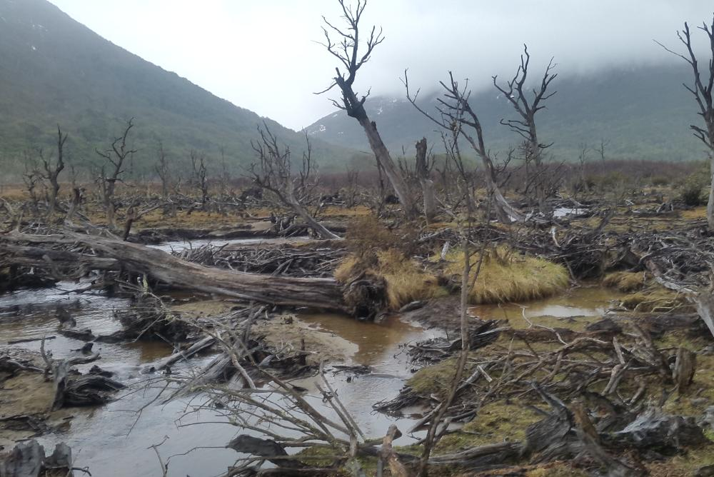 old forest, dead trees, swamp, water, gray, brown, green