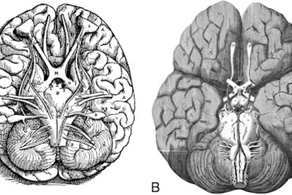 Brain attributed to Christopher Wren, 1543