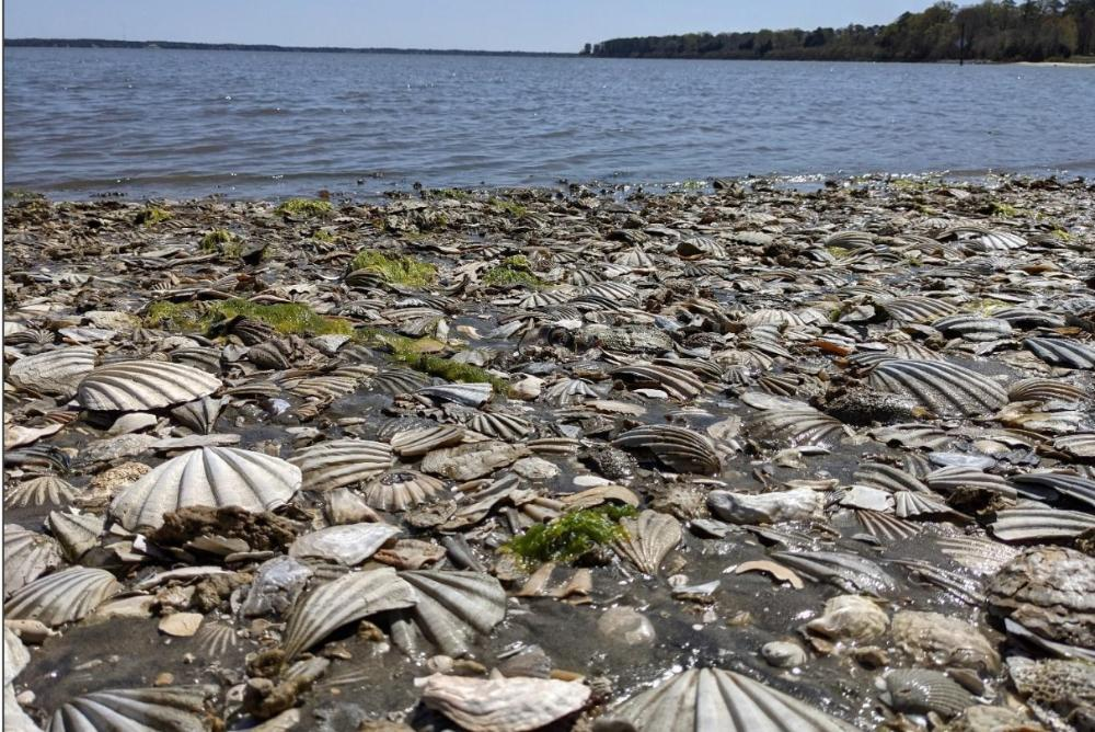 Fossil shells on beach at Colonial National Historical Park