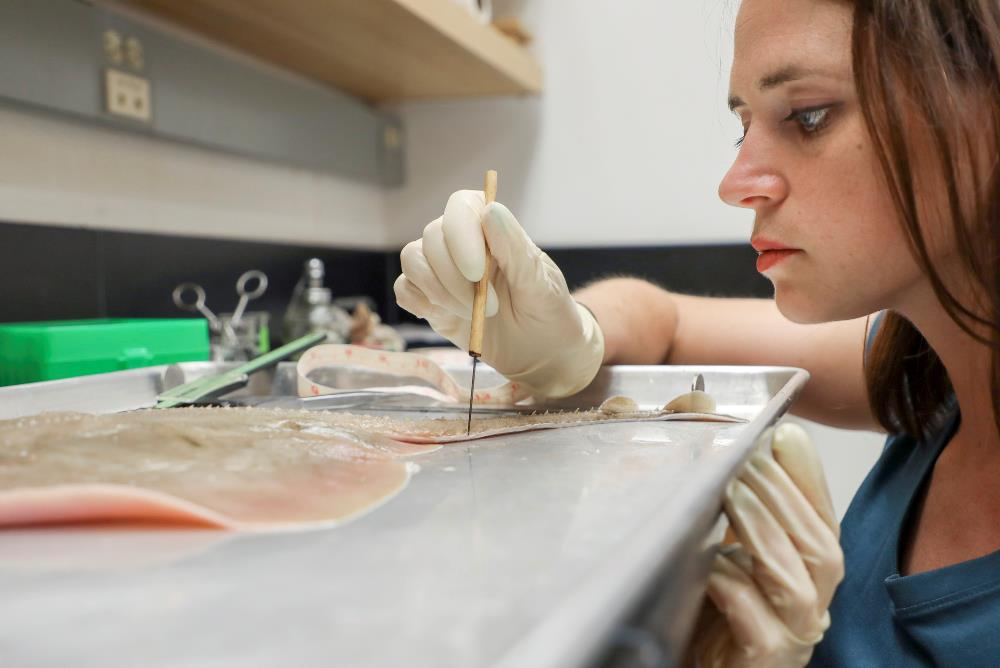 Graduate student takes samples from a clearnose skate