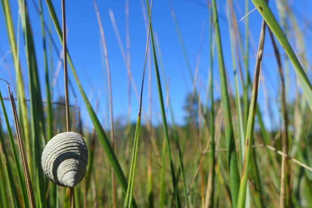 Periwinkle snail on marsh grass