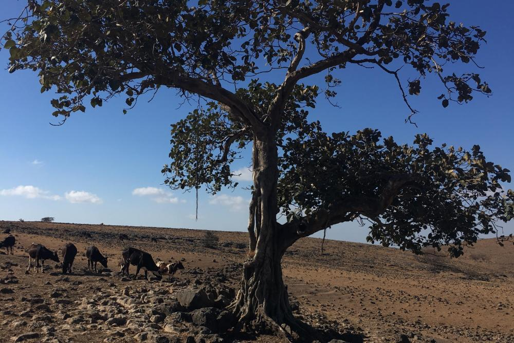 tree in dry landscape with cattle in the background